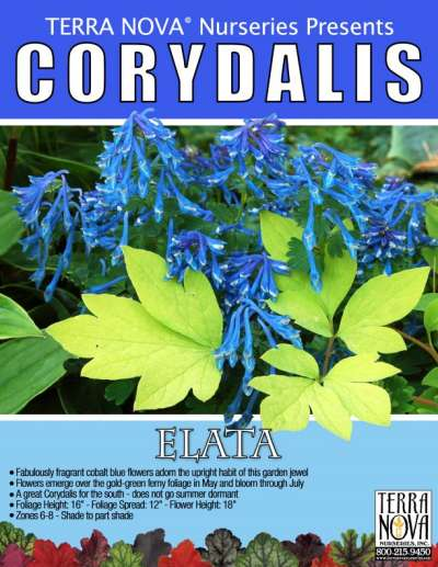 Corydalis elata - Product Profile