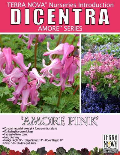 Dicentra 'Amore Pink' - Product Profile