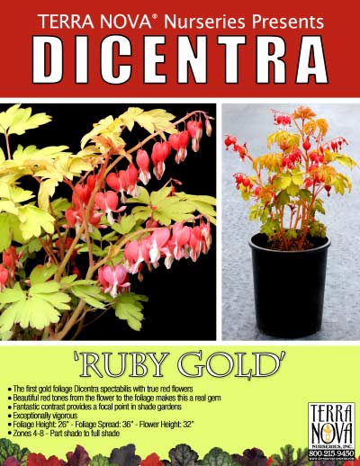 Dicentra 'Ruby Gold' - Product Profile