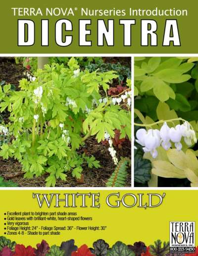 Dicentra 'White Gold' - Product Profile