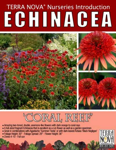 Echinacea 'Coral Reef' - Product Profile