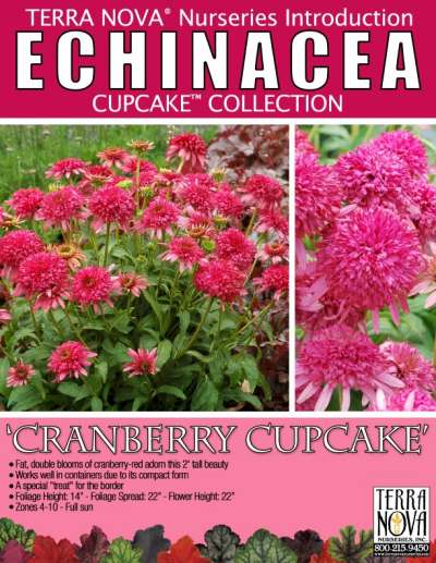 Echinacea 'Cranberry Cupcake' - Product Profile