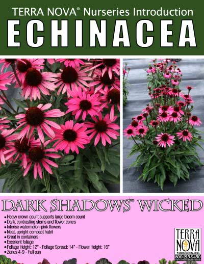 Echinacea DARK SHADOWS™ Wicked - Product Profile
