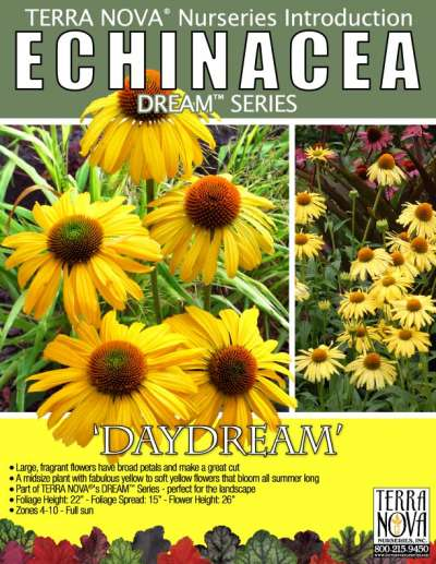 Echinacea 'Daydream' - Product Profile