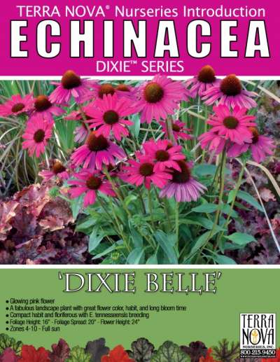 Echinacea 'Dixie Belle' - Product Profile