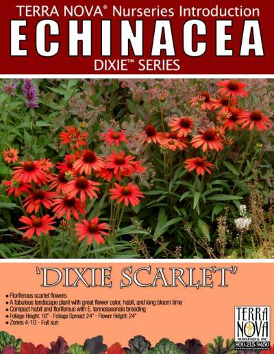 Echinacea 'Dixie Scarlet' - Product Profile