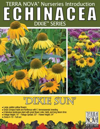 Echinacea 'Dixie Sun' - Product Profile