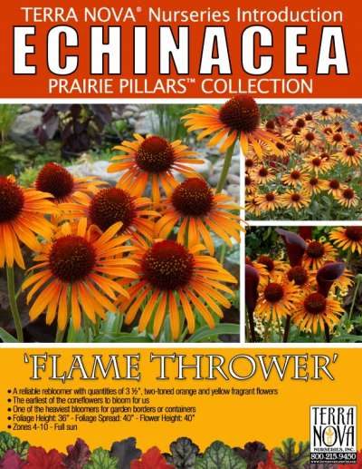 Echinacea 'Flame Thrower' - Product Profile