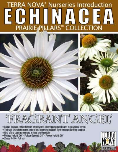 Echinacea 'Fragrant Angel' - Product Profile