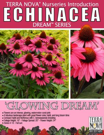 Echinacea 'Glowing Dream' - Product Profile