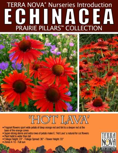 Echinacea 'Hot Lava' - Product Profile