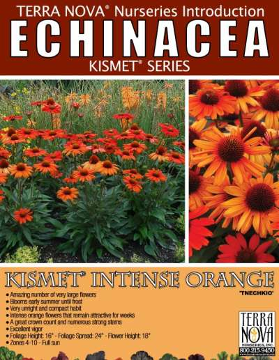 Echinacea KISMET® Intense Orange - Product Profile