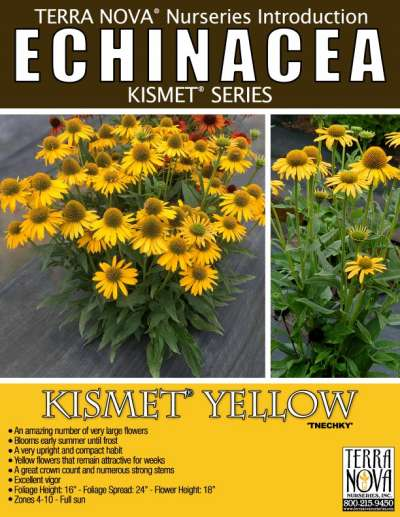 Echinacea KISMET® Yellow - Product Profile