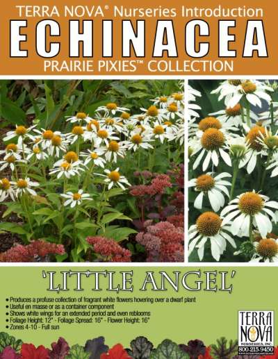 Echinacea 'Little Angel' - Product Profile