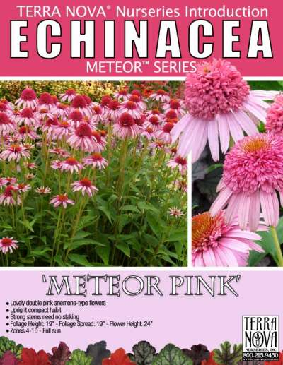 Echinacea 'Meteor Pink' - Product Profile