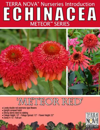 Echinacea 'Meteor Red' - Product Profile