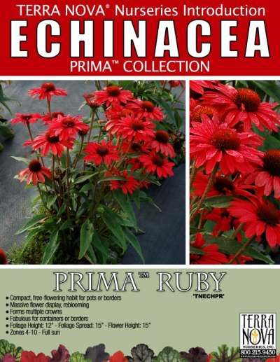 Echinacea PRIMA™ Ruby - Product Profile