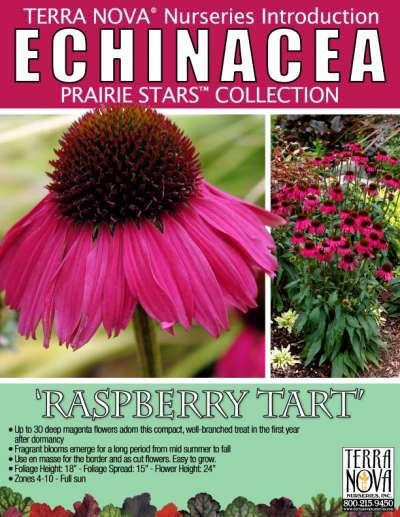 Echinacea 'Raspberry Tart' - Product Profile