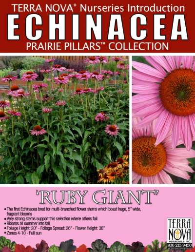 Echinacea 'Ruby Giant' - Product Profile