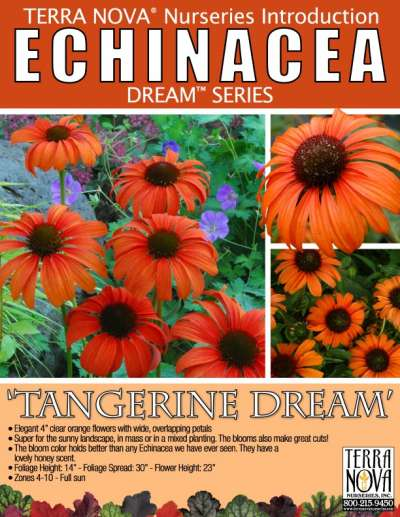 Echinacea 'Tangerine Dream' - Product Profile