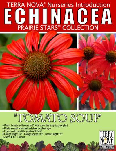 Echinacea 'Tomato Soup' - Product Profile
