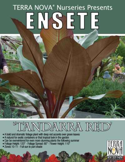 Ensete 'Tandarra Red' - Product Profile