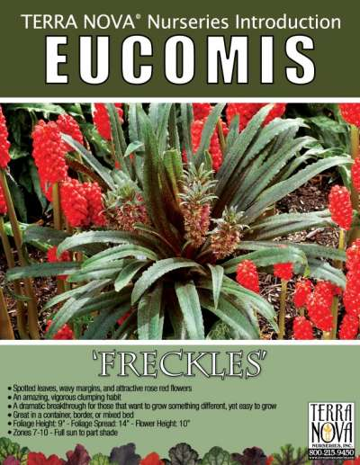 Eucomis 'Freckles' - Product Profile