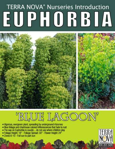 Euphorbia 'Blue Lagoon' - Product Profile