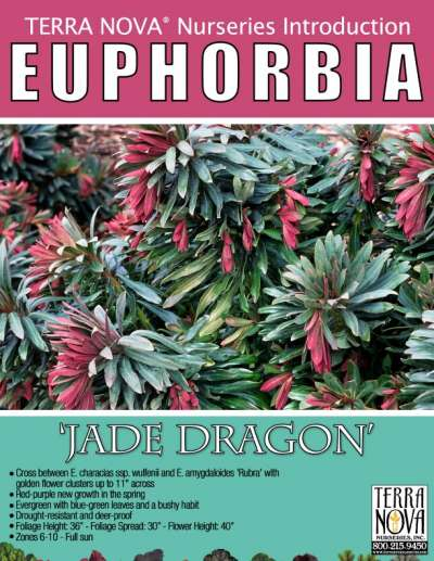 Euphorbia 'Jade Dragon' - Product Profile
