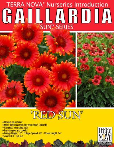 Gaillardia 'Red Sun' - Product Profile