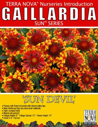 Gaillardia 'Sun Devil' - Product Profile