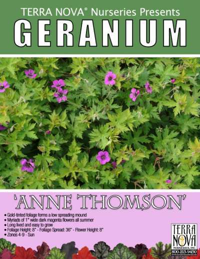 Geranium 'Anne Thomson' - Product Profile