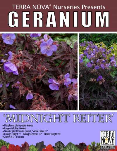 Geranium 'Midnight Reiter' - Product Profile