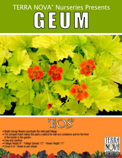 Geum 'Eos' - Product Profile