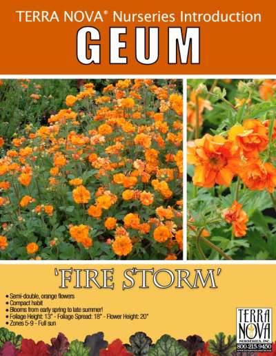 Geum 'Fire Storm' - Product Profile
