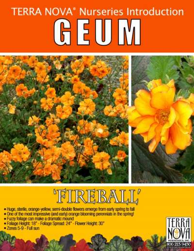 Geum 'Fireball' - Product Profile