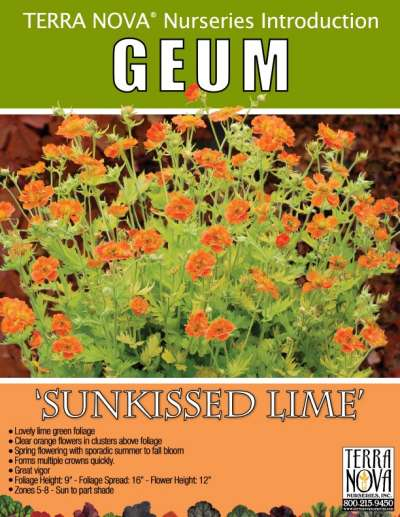 Geum 'Sunkissed Lime' - Product Profile