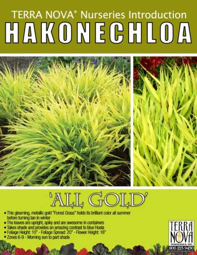 Hakonechloa 'All Gold' - Product Profile