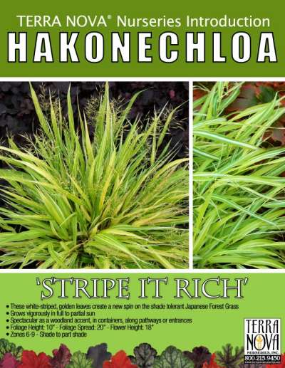 Hakonechloa 'Stripe it Rich' - Product Profile