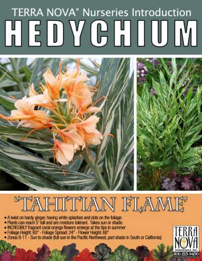 Hedychium 'Tahitian Flame' - Product Profile