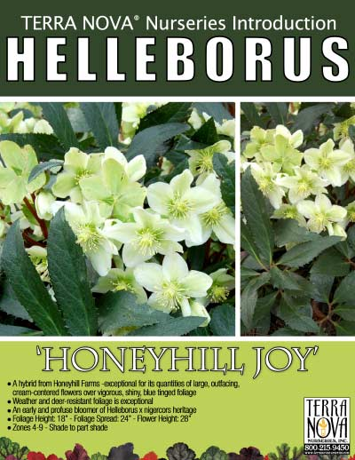 Helleborus 'Honeyhill Joy' - Product Profile