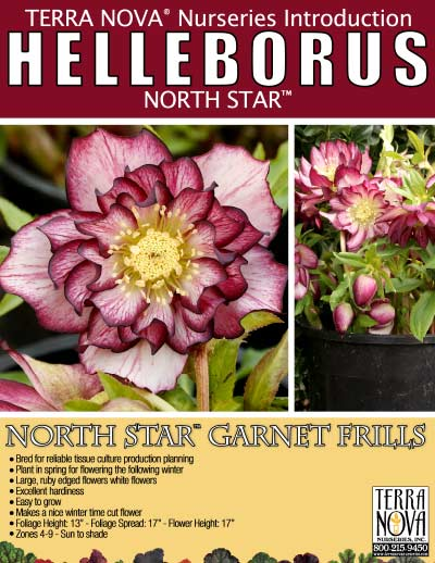 Helleborus NORTH STAR™ Garnet Frills - Product Profile