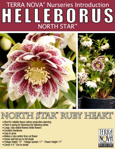 Helleborus NORTH STAR™ Ruby Heart - Product Profile