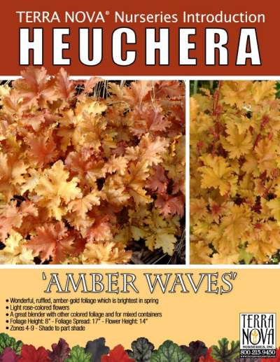 Heuchera 'Amber Waves' - Product Profile