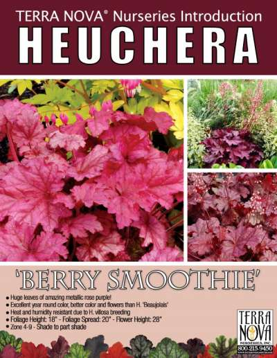 Heuchera 'Berry Smoothie' - Product Profile