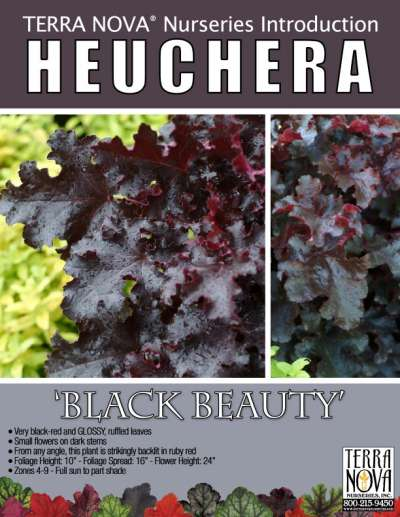 Heuchera 'Black Beauty' - Product Profile
