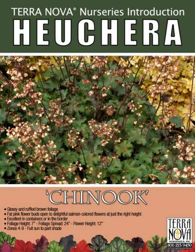 Heuchera 'Chinook' - Product Profile