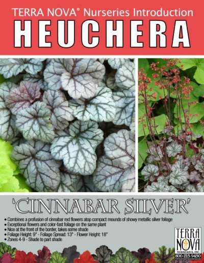 Heuchera 'Cinnabar Silver' - Product Profile
