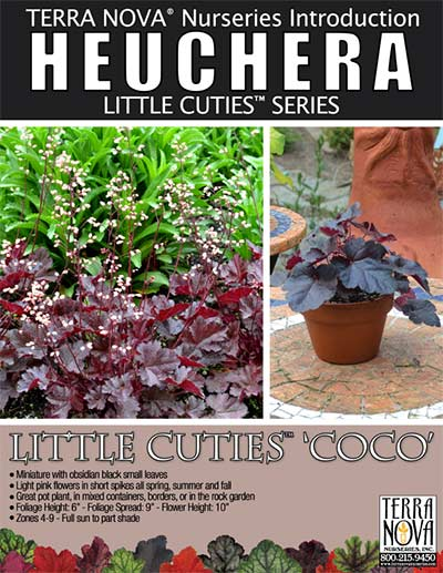 Heuchera LITTLE CUTIES™ 'Coco' - Product Profile
