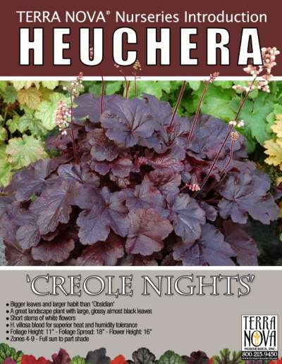 Heuchera 'Creole Nights' - Product Profile